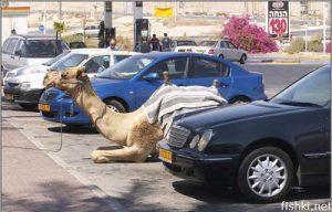 Верблюд на стоянке